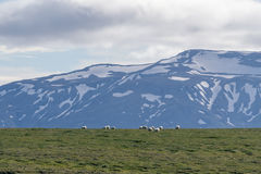 Icelandic sheep grazing in front of high mountains. Royalty Free Stock Image