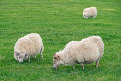 Icelandic sheep grazing on a green pasture. In Iceland Stock Photo