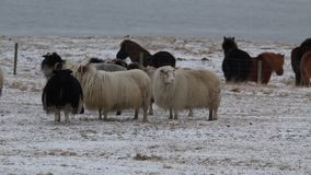 Icelandic sheep stock video