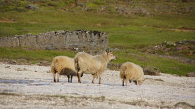 Icelandic sheep at Hveravellir. Icelandic sheep at geothermal area of Hveravellir on the Kjolur route Royalty Free Stock Images