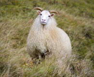 Icelandic Sheep - Iceland. A sheep on the moors in Northern Iceland stock images
