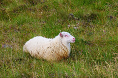 The Icelandic sheep Stock Photo