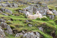 Icelandic Sheep and Lamb in the Field. Icelandic Sheep and Lamb Grazing in a Field Royalty Free Stock Images