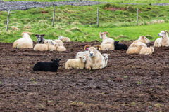 Icelandic Sheep and Lamb in the Field. Icelandic Sheep and Lamb Grazing in a Field Royalty Free Stock Photo