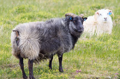 Icelandic sheep Royalty Free Stock Photo
