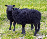 Icelandic sheep Royalty Free Stock Photography