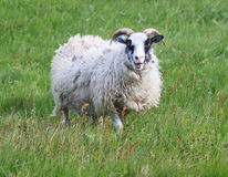 Icelandic sheep Royalty Free Stock Images