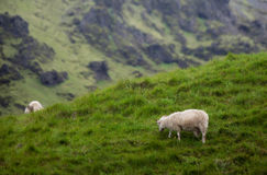 Icelandic Sheep in Meadow Stock Photo