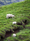 Icelandic Sheep in Meadow Stock Photography
