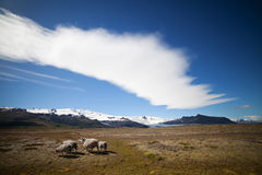 Icelandic Sheep in Meadow Royalty Free Stock Image