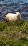 Icelandic Sheep in Meadow Royalty Free Stock Photography