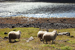 Icelandic Sheep in Meadow Stock Image