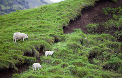 Icelandic Sheep in Meadow Royalty Free Stock Photo