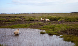 Icelandic Sheep in Meadow Royalty Free Stock Photos