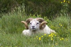 Icelandic Sheep Ram Stock Photos