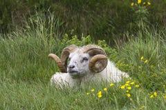 Icelandic Sheep Ram Royalty Free Stock Photos