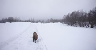 Icelandic sheep running in the snow towards a forest stock images