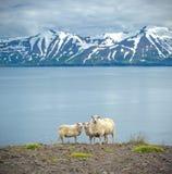 Icelandic sheep stock image
