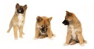 icelandic sheepdog щенка стоковые изображения