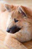 icelandic sheepdog щенка стоковые изображения rf