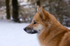 Icelandic sheepdog stock image