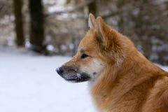 icelandic sheepdog стоковое изображение