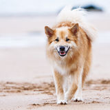 Dog on the beach Royalty Free Stock Photos