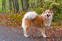Icelandic sheepdog in autumn forest Stock Images