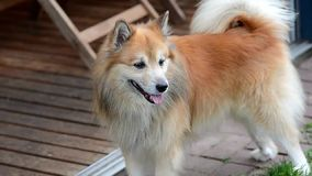 Icelandic sheepdog stock footage