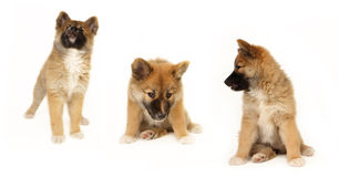 Icelandic Sheepdog puppy Stock Images