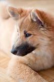 Icelandic Sheepdog Puppy Royalty Free Stock Images