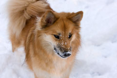 Icelandic Sheepdog Royalty Free Stock Photos