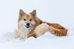 Icelandic sheepdog in snow Royalty Free Stock Photo