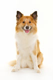 Icelandic sheepdog in studio Royalty Free Stock Photos