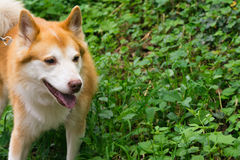 Icelandic Sheepdog Typical Home Pet Walking Around Daytime Strol. L Park Happy Tongue Cute Pretty Animal Stock Image