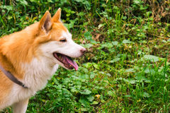 Icelandic Sheepdog Typical Home Pet Walking Around Daytime Strol. L Park Happy Tongue Cute Pretty Animal Royalty Free Stock Photos