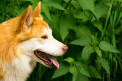 Icelandic Sheepdog Typical Home Pet Walking Around Daytime Strol. L Park Happy Tongue Cute Pretty Animal Stock Images