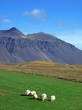 icelandic sheeps Royaltyfria Foton