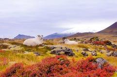 Icelandic sheeps Royalty Free Stock Photos