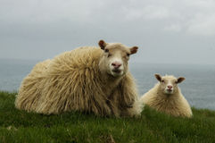 Icelandic sheeps lying Royalty Free Stock Photography