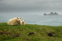Icelandic sheeps lying Royalty Free Stock Photos