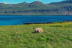 Icelandic single sheep Stock Image