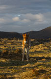 Icelandic small horse on a field Stock Photo