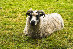 Icelandic tup is resting on a green meadow Stock Images