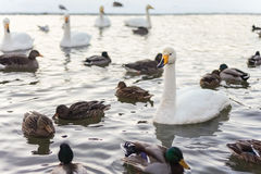 Icelandic water birds Stock Image
