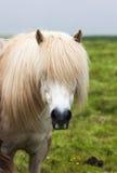 Icelandic white horse Royalty Free Stock Photo