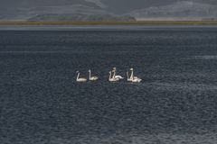 Icelandic whooper swan family at lake in evening, Iceland, summe Royalty Free Stock Photography