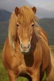 Icelandic wild horse closeup Stock Image