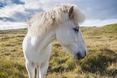 Icelandig horse standing on grassland in Iceland, head close up. White icelandig horse standing on grassland in Iceland, head close up profile stock photo