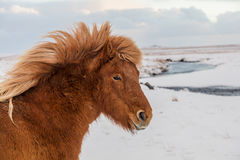 Icelandinc rudzielec Zdjęcie Royalty Free